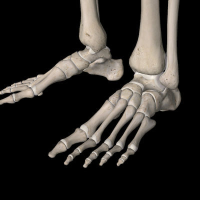 The medial and lateral arches are clearly visible at the tarsals.