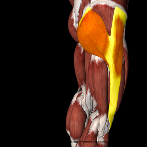 This image illustrates the relationship between gluteus maximus and the outside of the knee.